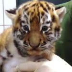 Straubing Tiergarten hat zwei Tiger Babys